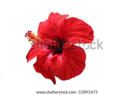 red hibiscus tropical flower isolated on white background - stock photo