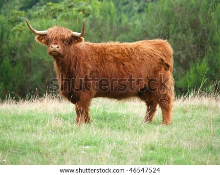 Red Highland Cow on a Hillside