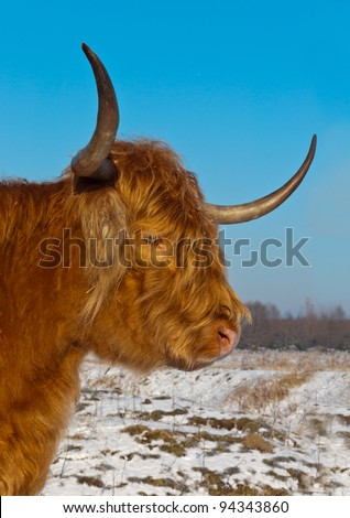 Red Highland cow with long horns and a winter coat in the snowy Dutch nature reserve Dintelse Gorzen (near the village of Steenbergen, North-Brabant).
