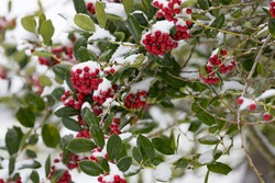 Red holly berries covered with snow after a winter snow storm, Salem, Oregon