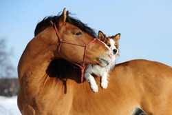 Red horse and border collie dog are friends