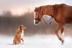 Red horse and red dog walking in the field in winter. Dog Nova Scotia Duck Tolling Retriever