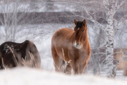 Red Horse Free Grazing In Snow Field In Siberia, Russia. Altai Perfect Winter Animal Landscape. Stalling Peacefully Grazed Among Snowdrift. Goodly Hoss At Background Of Russian Birches. Village Life.