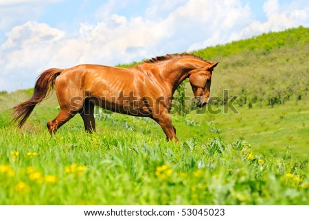 Red horse in the field