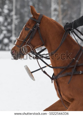 Red Horse pony  head in harness on horse polo in snow winter Zdjęcia stock ©