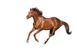 Red horse run gallop isolated on white background