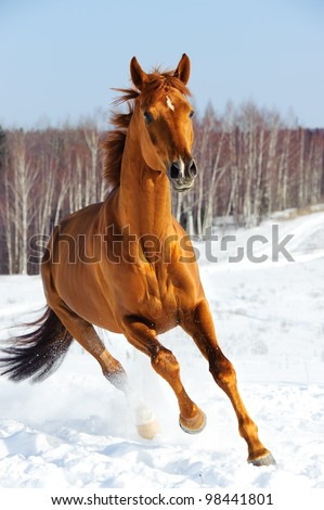 Red horse runs front in winter time
