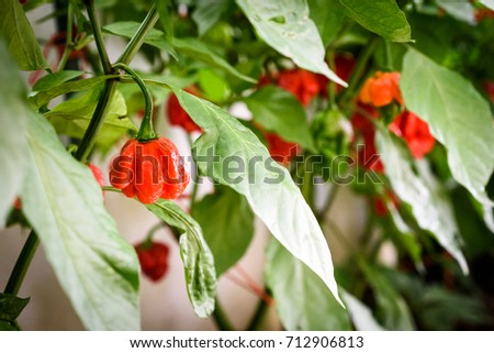Red hot chilli pepper habanero red caribbean on a plant. Capsicum chinense peppers on a green plant with leaves in home garden or a farm.