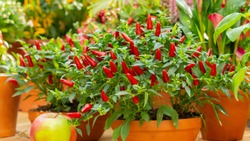 Red hot chilli pepper on a green bush in a clay pot, small fresh jalapeno peppers fresh organic whole. Potted chili peppers, bright juicy color, autumn harvest