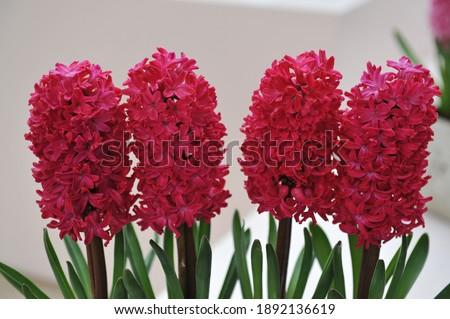 Red hyacinth (Hyacinthus orientalis) Jan Bos blooms in a garden in April Stockfoto ©
