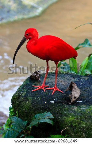Red ibis bird near the water on a rock