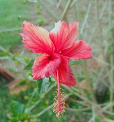 red ibiscus flower beautiful flowers