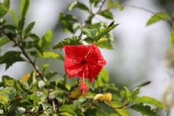Red Ibiscus, Tortugero Park, Costa Rica