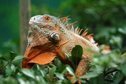 Red Iguana is a genus of herbivorous lizards that are native to tropical areas of Mexico, Central America, South America, and the Caribbean.