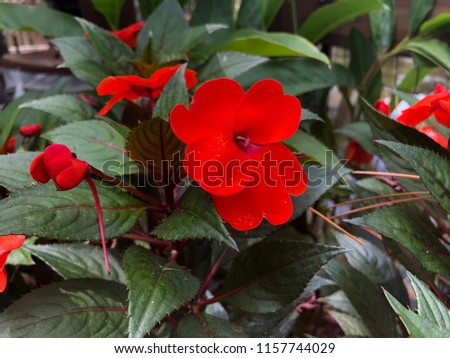 Red Impatiens Blooming Annuals plants #1157744029