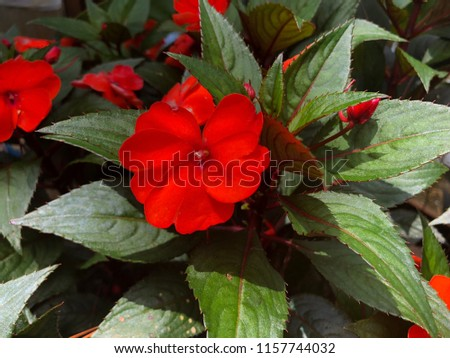 Red Impatiens Blooming Annuals plants #1157744032