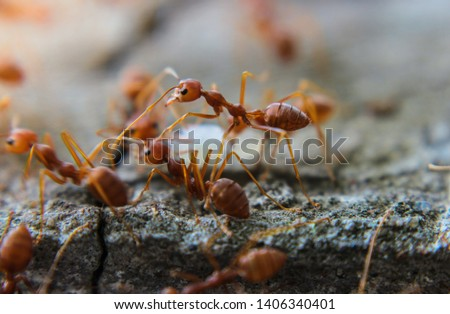 Photo of  Red imported fire ant,Action of fire ant