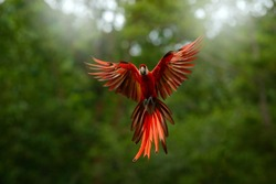 Red in forest. Macaw parrot flying in dark green vegetation with beautiful back light, . Scarlet Macaw, Ara macao, in tropical forest, Peru. Wildlife scene from tropical nature.