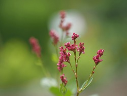 Red indigo plant flowers bloom