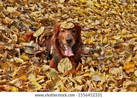 Red Irish setter during a fun funs  in colorful leaves