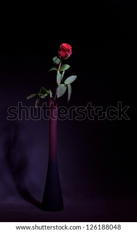 Red isolated rose in dark violet background, artistic rose photo, red rose isolated in dark, red flower, flower of love