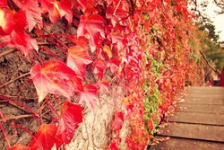 Red Ivy Creeper Leaves on the stone wall. Toned image. Autumn Leaves and Fall Colors. Climbing plant on the wall. Red and green leaves in autumn season.  Retro photo.