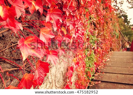 red ivy creeper leaves on the...