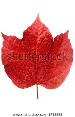 Red ivy leaf