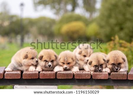 Red japanese akita, akita inu, puppies walks outdoor at park #1196150029