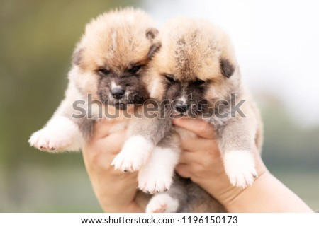Red japanese akita, akita inu, puppies walks outdoor at park #1196150173