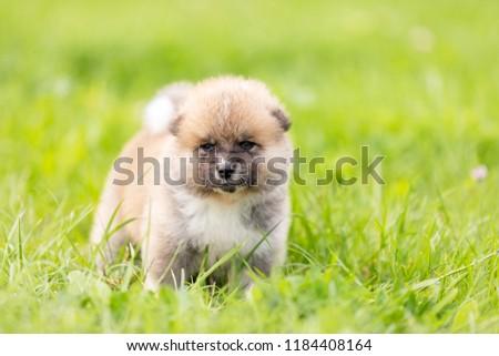 Red japanese akita, akita inu, puppy walks outdoor at park #1184408164