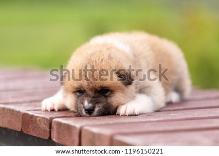 Red japanese akita, akita inu, puppy walks outdoor at park #1196150221