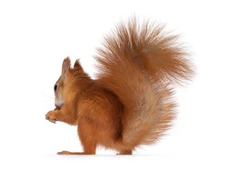 Red Japanese Lis squirrel, sitting side ways, holding a hazel nut in front paws and eating from it. Tail up in typical squirrel position. Isolated on white background.