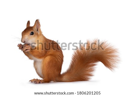 Photo of  Red Japanese Lis squirrel, sitting side ways, holding a hazel nut in front paws and eating from it. Tail up. Isolated on white background.