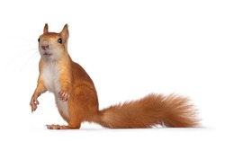 Red Japanese Lis squirrel, standing side ways. Looking towards camera showing both eyes. Isolated on white background.