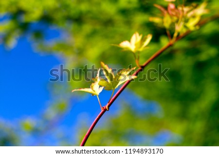 Red Japanese Maple Branch #1194893170