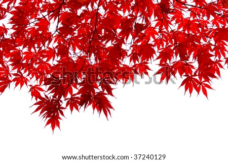 japanese maple leaves. Red japanese maple leaves
