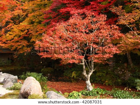 Red japanese maple tree in nanzen ji temple (Kyoto, japan) - stock photo
