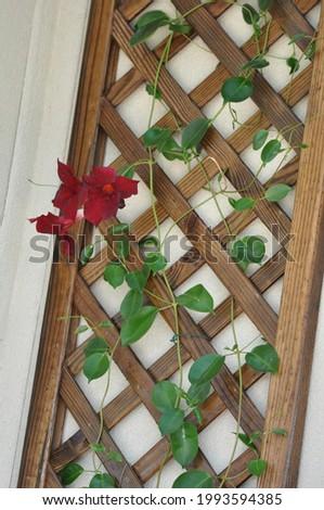 Red  jasmine flower on the wood   decoration