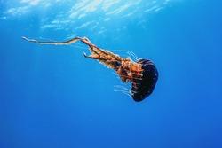 Red jellyfishdancingin the blue ocean water,compass jellyfish, wildlife