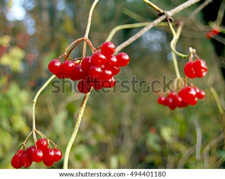 red kalina berries in their natural environment #494401180