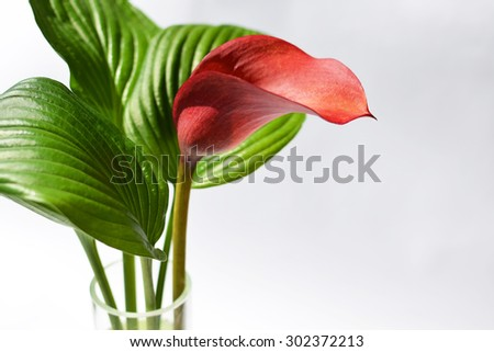 Red kalla with a green striped leafs in a glass vase #302372213