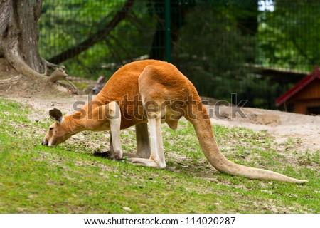 Red kangaroo in the zoo