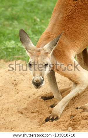 Red Kangaroo looking at camera. (Macropus rufus)
