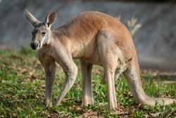 Red kangaroo(Macropus rufus)
