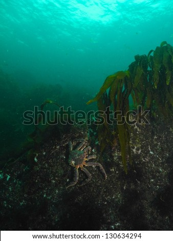 Red King Crab climbing on the rocks