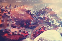 Red king crab (Paralithodes camtschaticus), also called Kamchatka crab or Alaskan king crab, native to the far northern Pacific Ocean