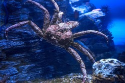 Red king crab underwater. Paralithodes camtschaticus.