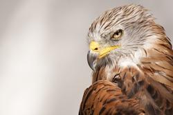 Red kite, bird of prey portrait