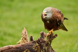 Red kite, bird of prey portrait. The bird is sitting on a stump. Ready to attack its prey